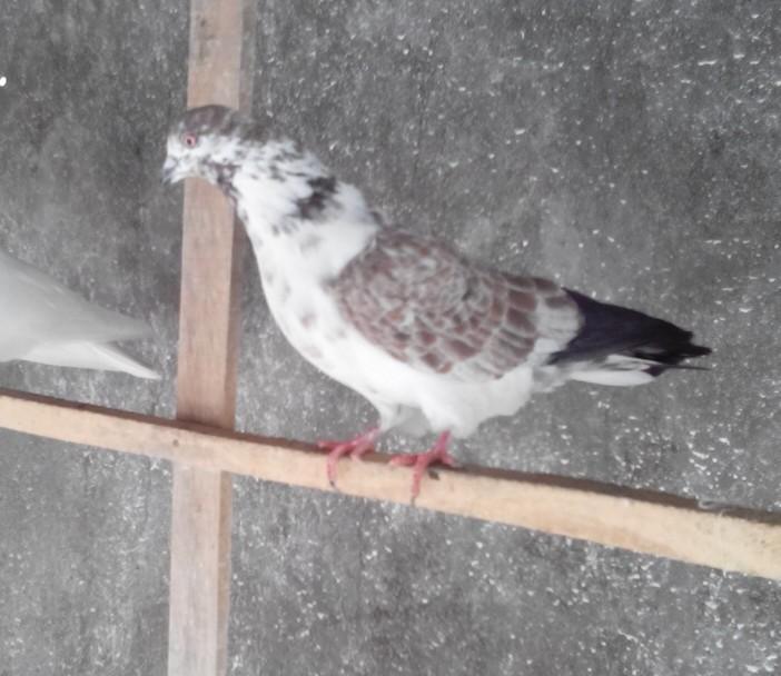 عکس کبوتر استارا