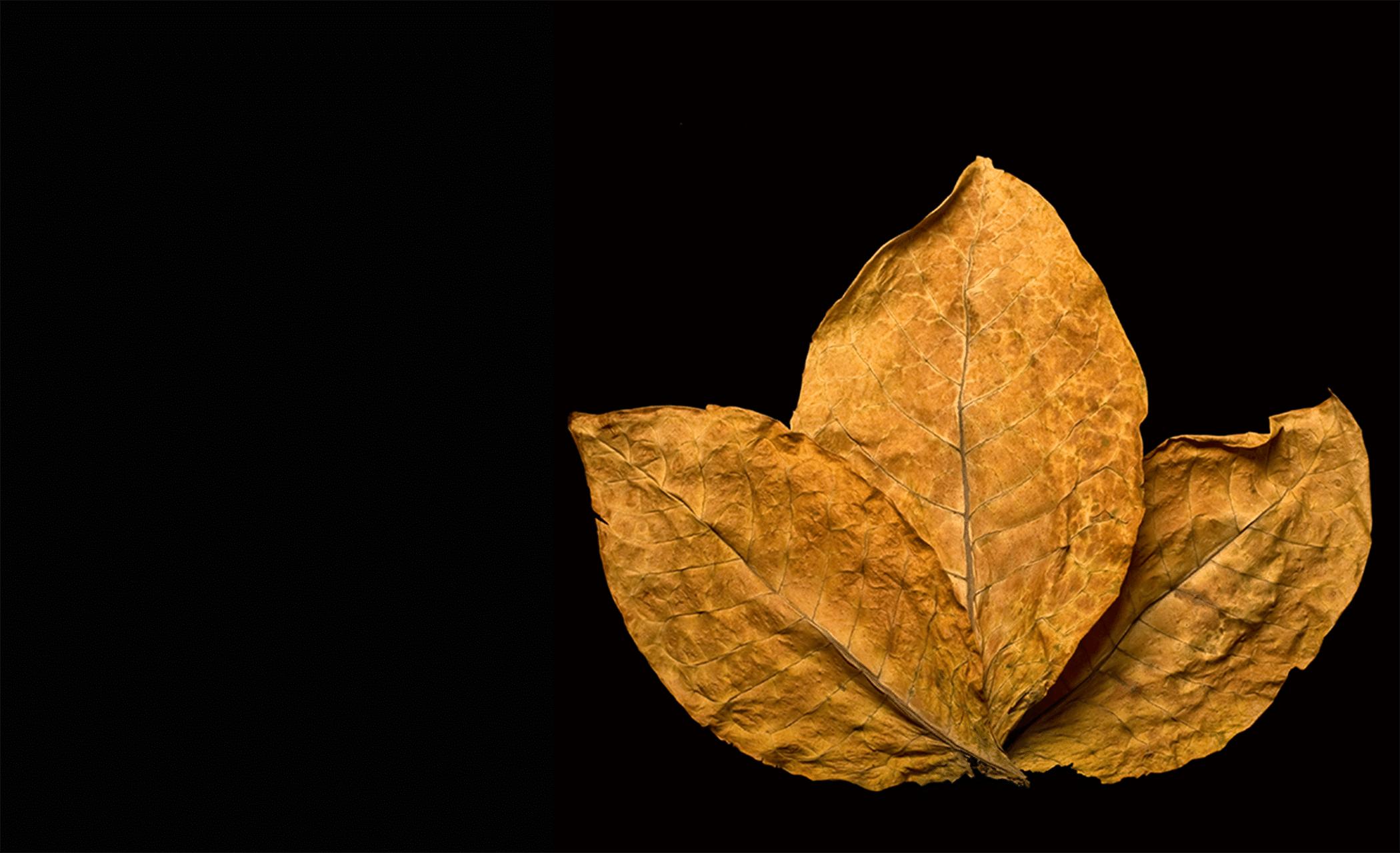 [تصویر:  1yct_tobacco_leaf_png_1389905.png]