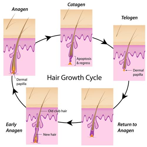 [عکس: 2hrn_hair-growth-cycle.jpg]