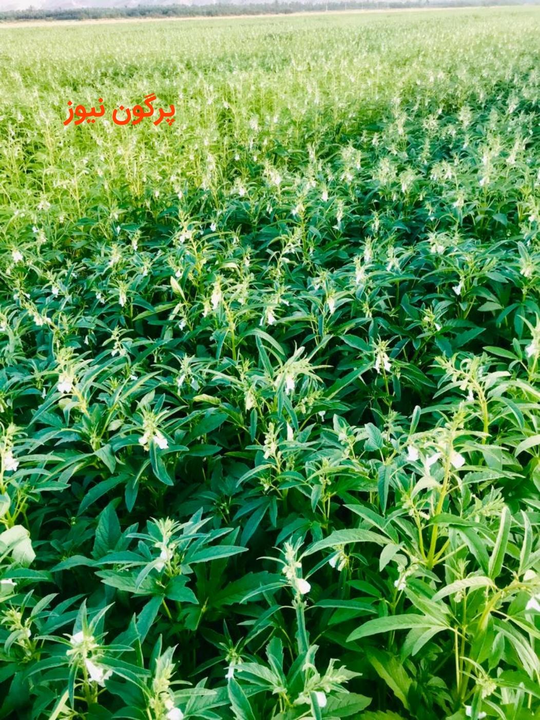 بزرگ ترین مزرعه کنجد جنوب کشور در قیروکارزین