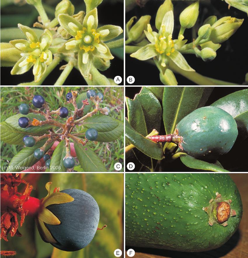 نام: آووکادو (Avocado) نام علمی: Persea americana