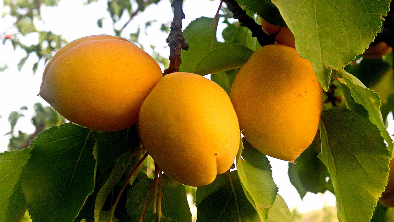 زردالوهاي ارلان
