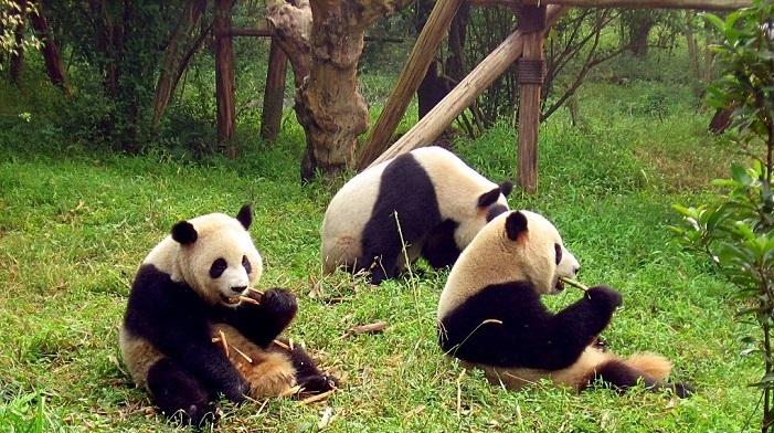3zjt_chengdu-pandas-d10.jpg