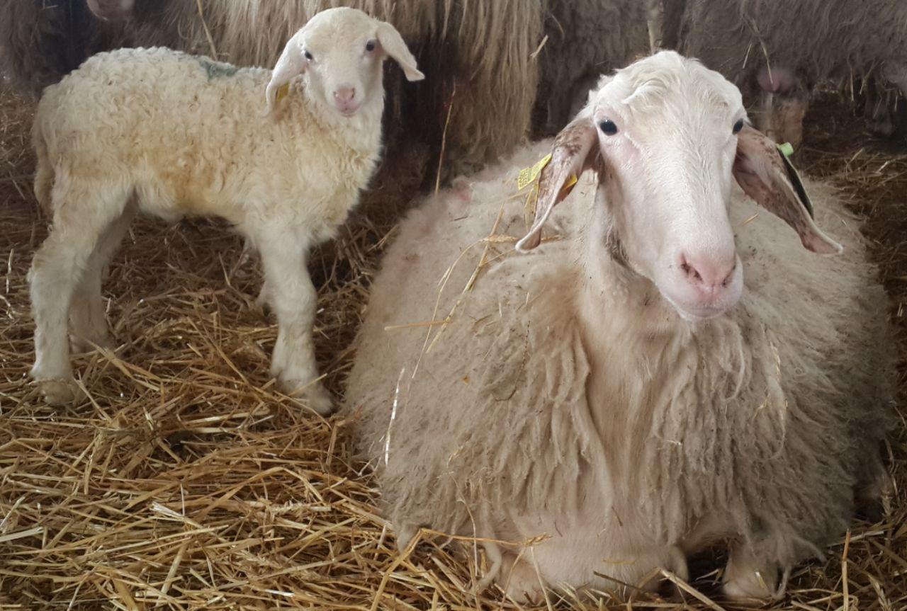 نژاد های بز و گوسفند ایرانی و خارجی - مطالب خرداد 1399
