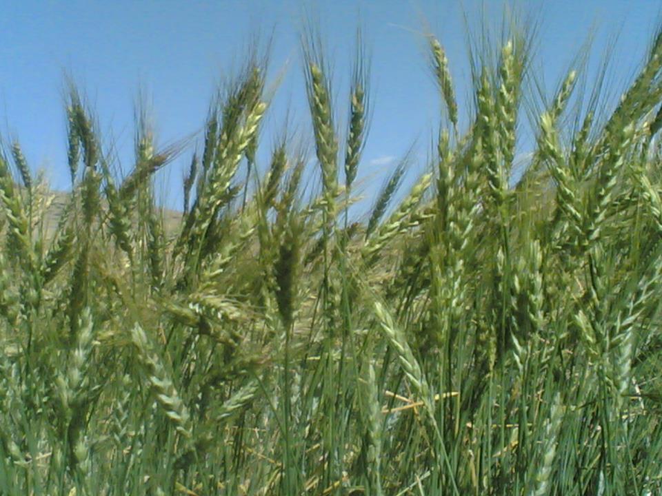 گندمزار سیبدر