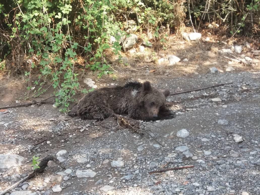 کشته شدن دو توله خرس در عرض دو هفته در گلستان/نبود نظارت بر تفنگ هایی که حیات وحش را نشانه گرفته اند