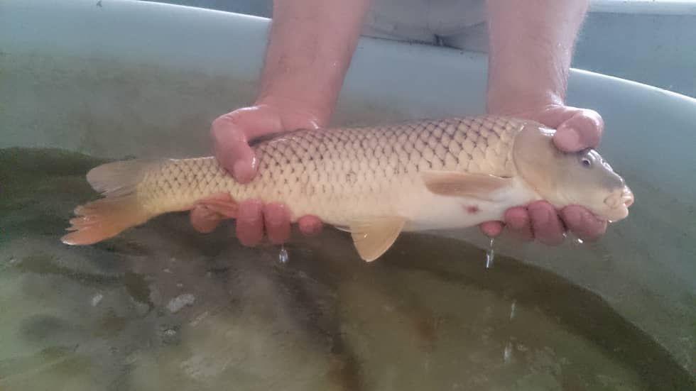 رها سازی 2 میلیون بچه ماهی «کپور» و «کلمه» در گلستان
