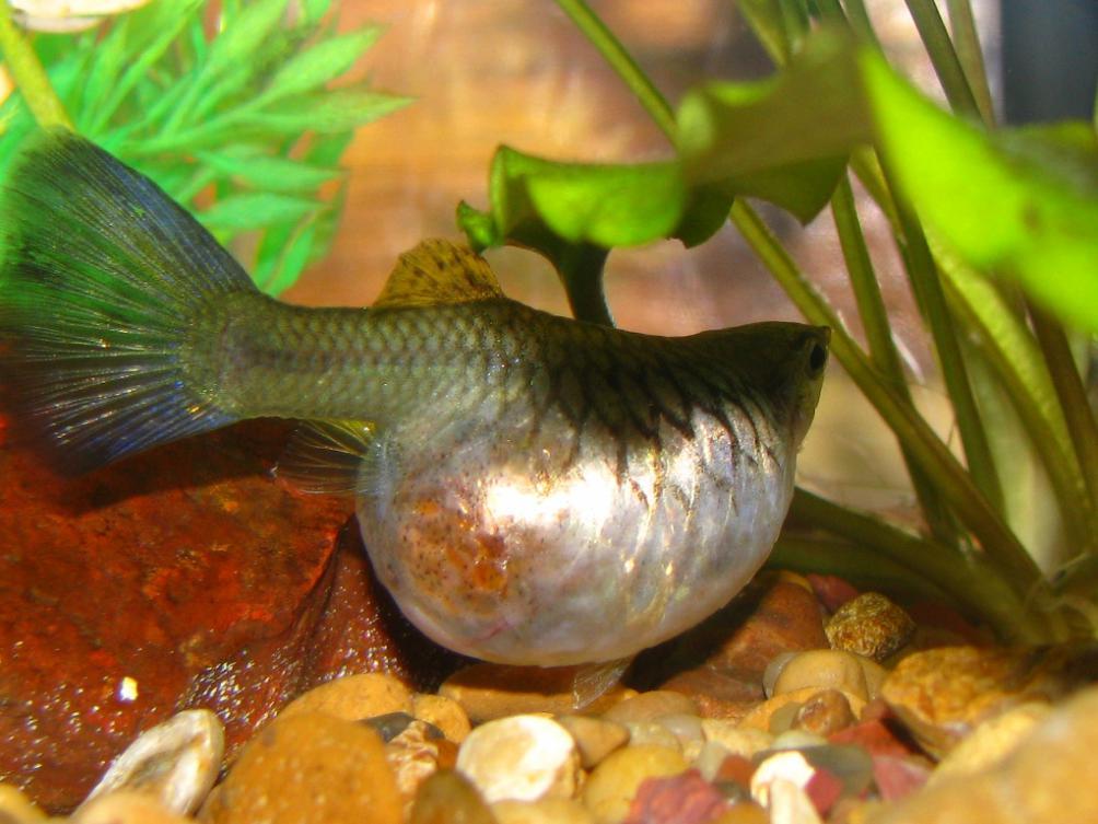 تصاویری از ماهی گوپی ماده حامله | Pregnant female Guppy