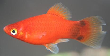 fin rot یا دم خورده و روش درمان آن در ماهی های آکواریوم