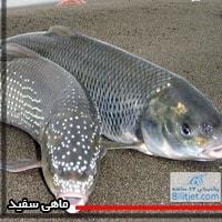 ماهی_سفید