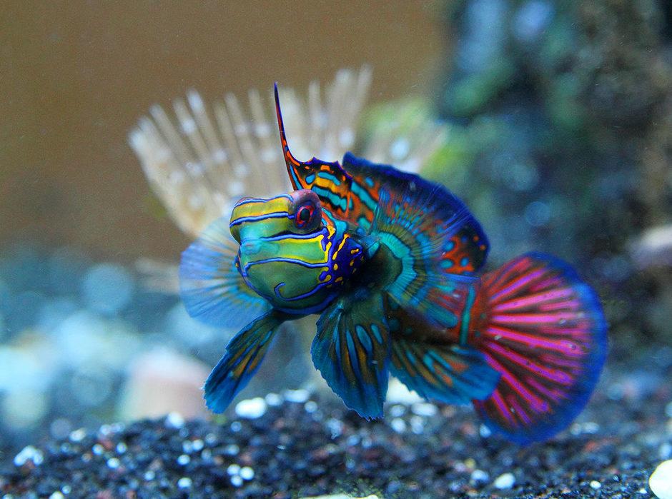 عکس هایی از ماهی ماندارین که معروف به اژدها ماهی است