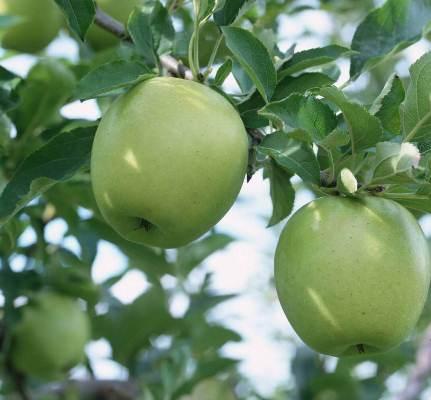 درختان پر میوه، درخت سیب