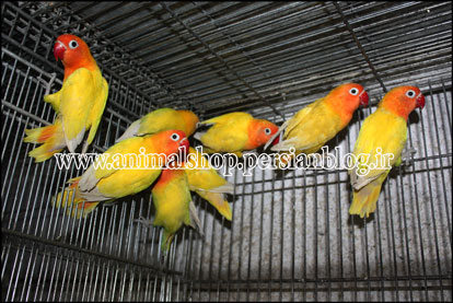 فروش  خرید برزیلی lovebird love bird agapornis aviary