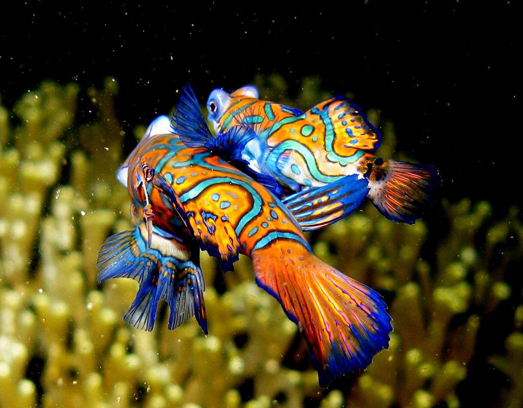 عکس از ماهی ماندارین نر و ماده