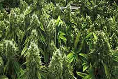 ماریجوانا تصویر