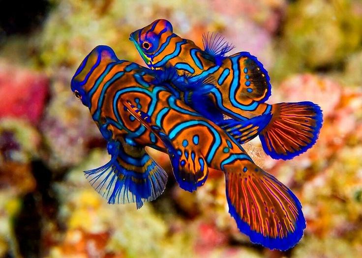 عکس از ماهی ماندارین آب شور با جفتش