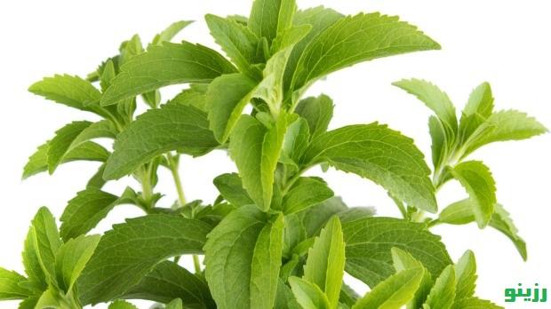 خواص گیاه استویا فروش گیاه استویا خرید استویا در رزینو