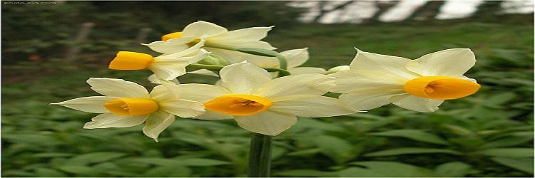 زیباترین عکس گل نرگس سفید