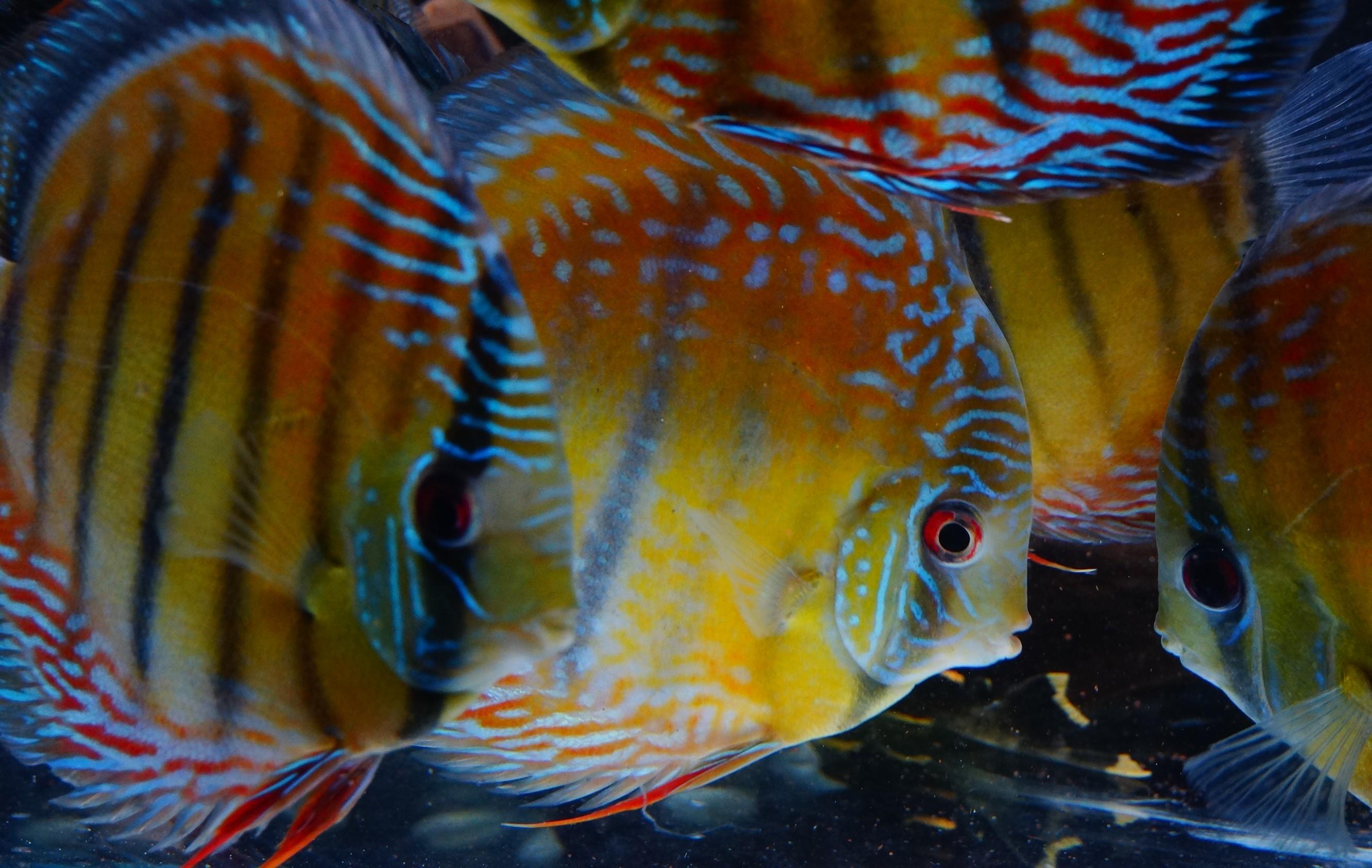 عکس با کیفیت از ماهی دیسکاس
