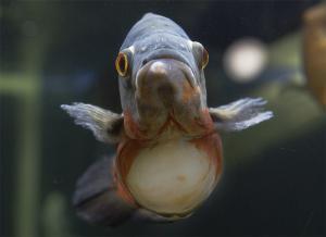 نفخ یا ورم شکم یا Dropsy در ماهی اسکار