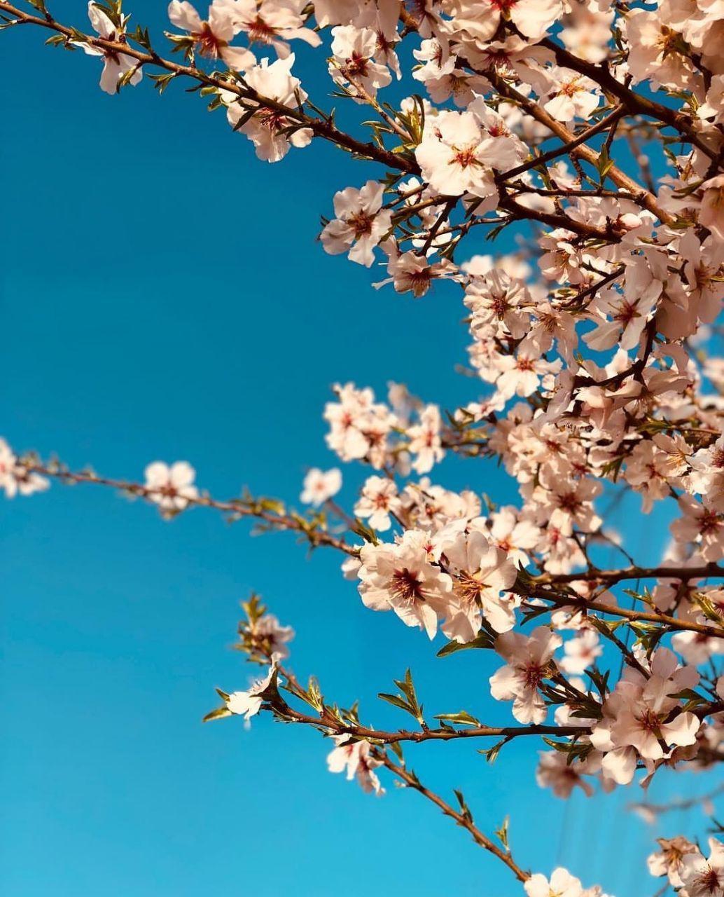 عکس از شکوفه های بهار