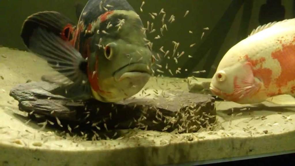 اسکار و بچه ماهی و لارو ماهی اسکار
