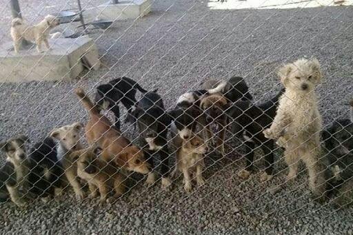 شهرداری کشتار سگهای سنقر را متوقف کند