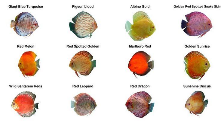 جدول انواع ماهی دیسکس