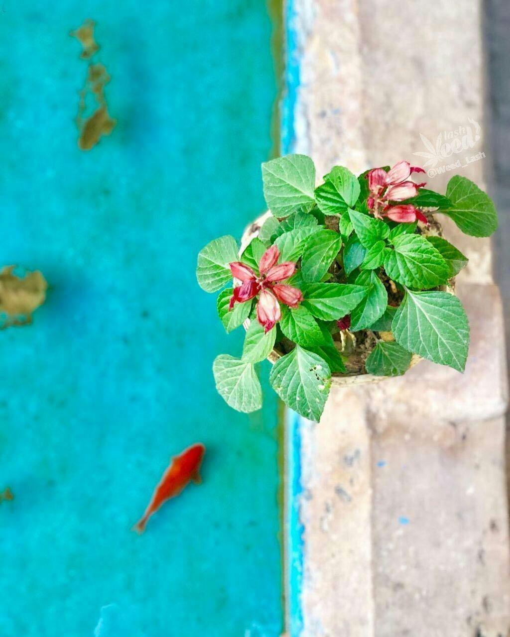 عکس زیبا ماهی قرمز