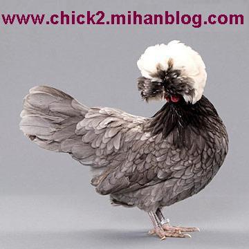 مرغ لهستانی
