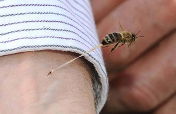 زهر نبور عسل و خواص درمانی آن
