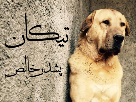 سگ عراقی اصیل