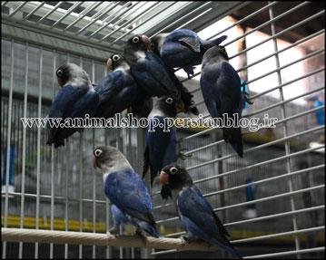 فروش خرید برزیلی نقابدار مشکی سیاه یقه زرد agapornis  lovebird aviary