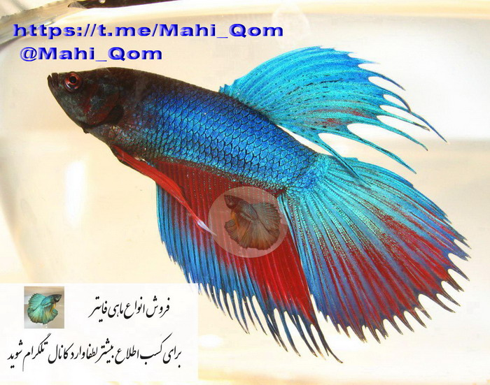 فروش ماهی فایتر در شهر قم