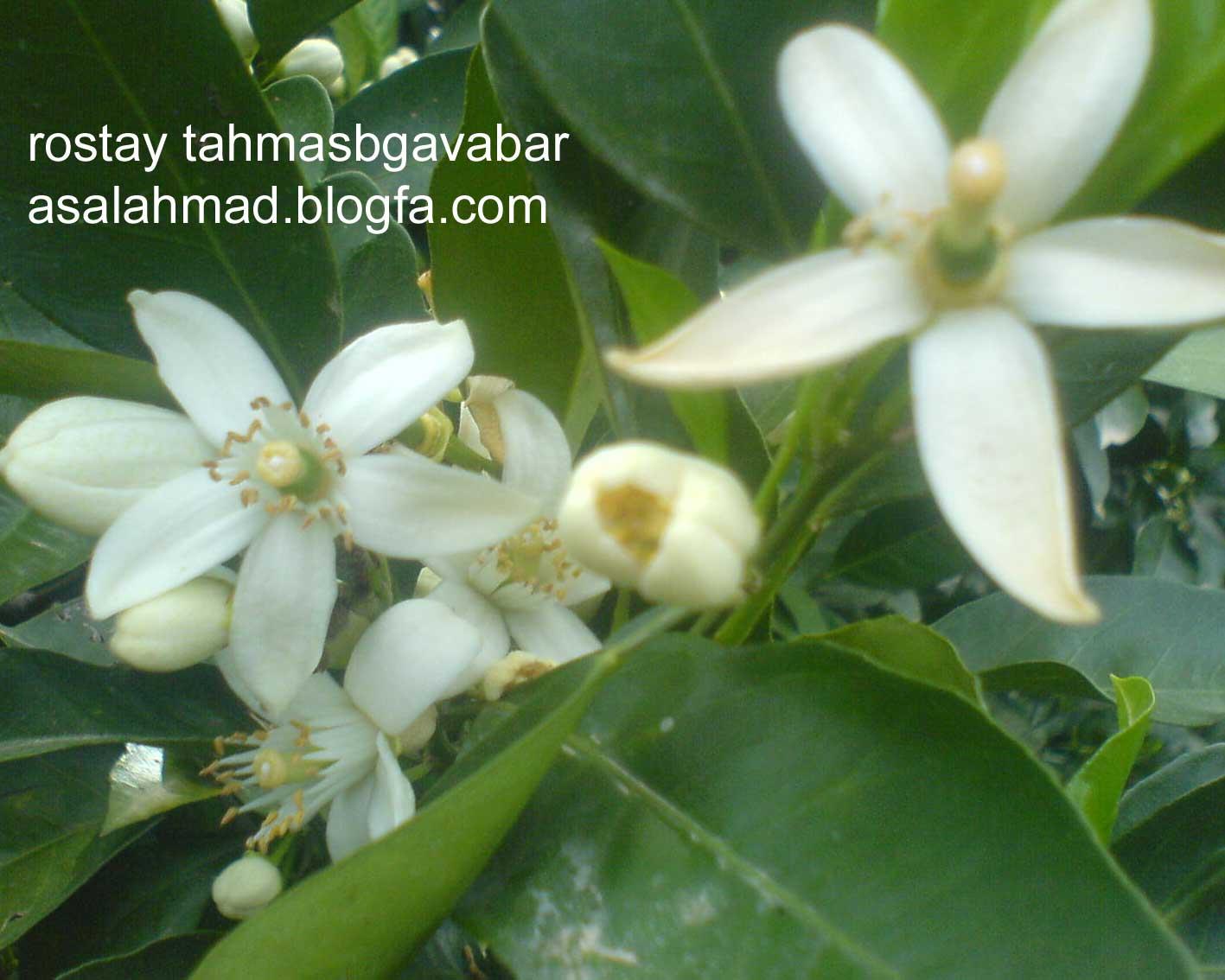 شکوفه های مرکبات در روستای طهماسب گوابر املش