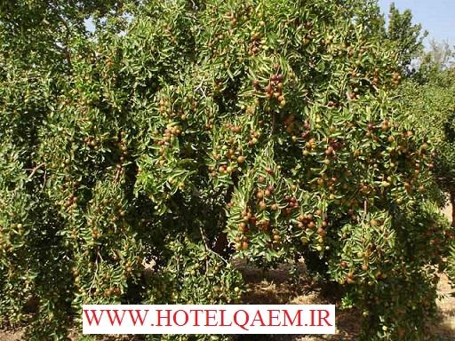درخت عناب  بیرجند