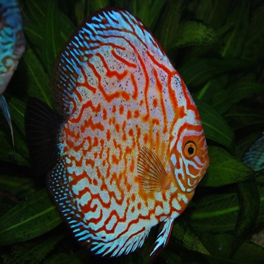 ماهی دیسکس برای فروش
