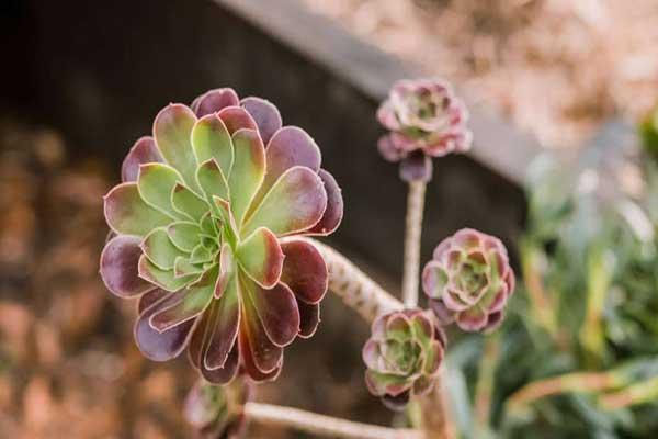 پرورش گل آئونیوم و بررسی انواع روش های تکثیر آن