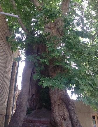 Image result for درخت چنار دنیجرد