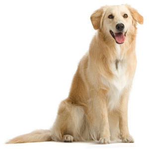 سگ طلایی