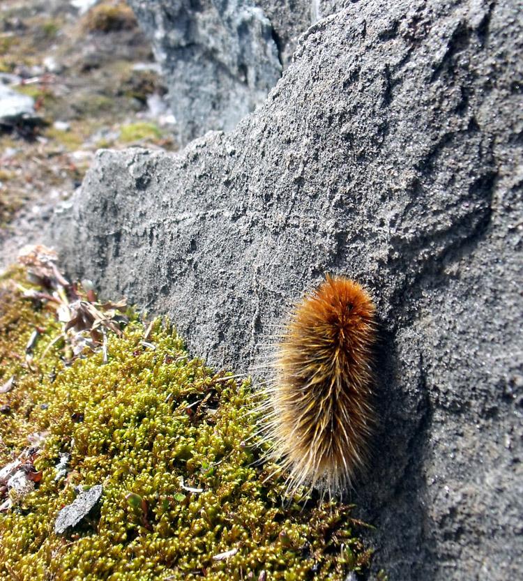 زندگی شگفت انگیز بید خرسی پشمالوی قطبی - Arctic Woolly Bear Moth