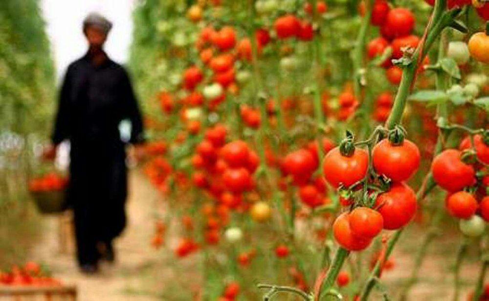 کارخانه رب گوجه فرنگی در سنقر راهاندازی میشود