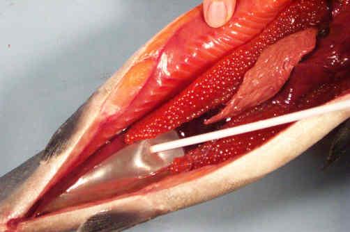 علت عمودی شدن ماهی چیست؟ بیماری کیسه شنا