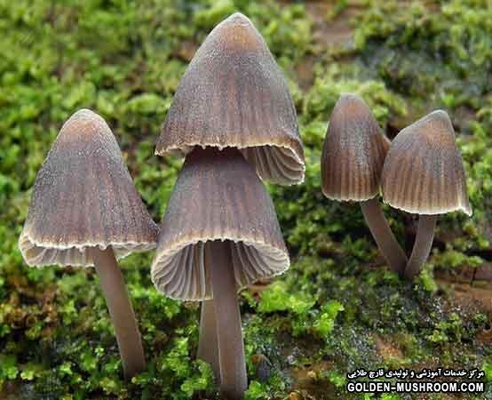 شناخت قارچ های سمی (وحشی)