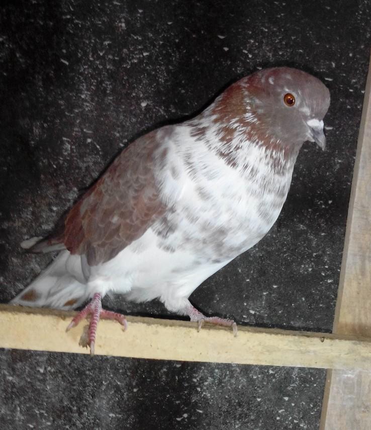 dove astara high fly pigeon