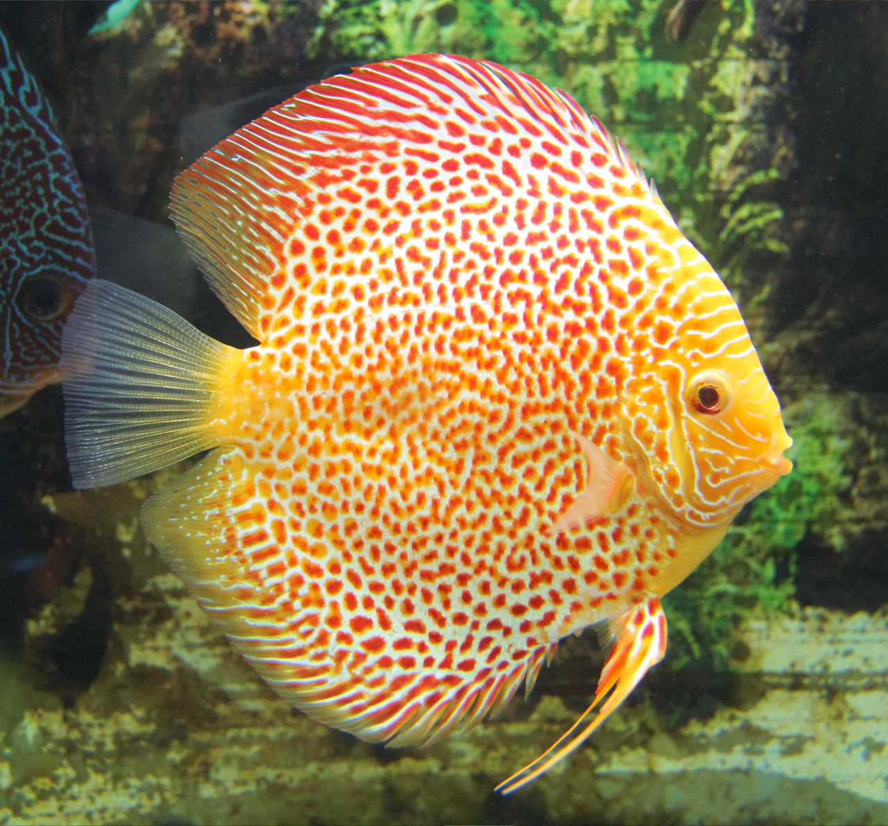 عکس از ماهی دیسکاس