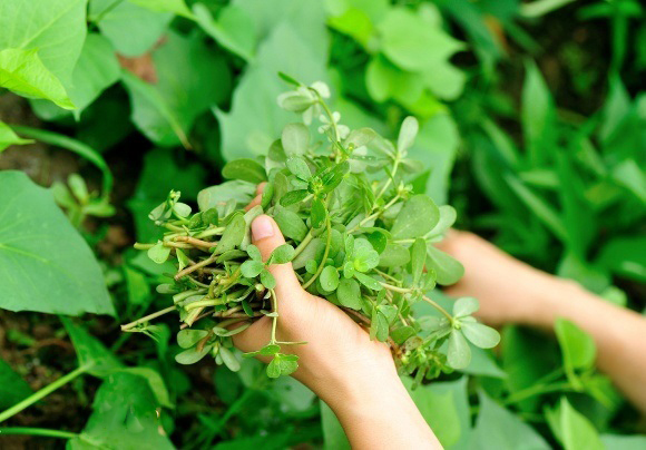 http://uupload.ir/files/v0h8_hands-picking-purslane.jpg
