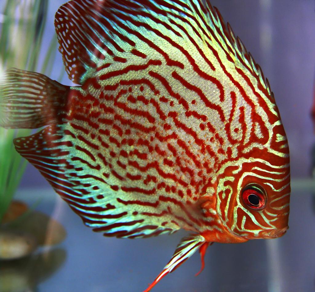 ماهی دیسکس نر