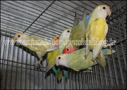 فروش خرید برزیلی های صورت هلویی و صورت سفید لوتینو و لیمویی
