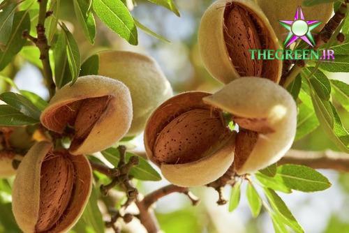 معرفی کامل درخت بادام